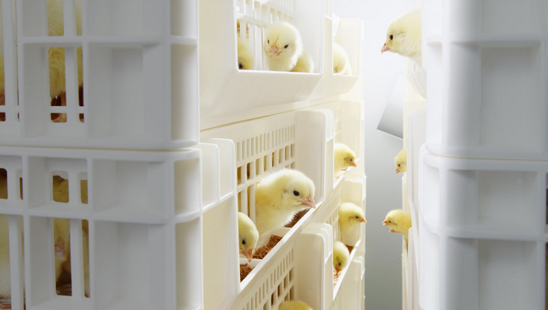 SmartStart™ ensures optimal development of day-old chicks